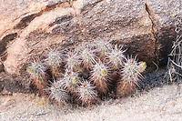 "These strawberry hedgehog cacti are showing some flower buds in Joshua Tree National Park. You can see the distinctive spine coloration which is light grey at the top and reddish/pinkish-brown towards the base, which can be a helpful in identifying which member of the Echinocereus genus you have. The spines are also flattened, and somewhat ""sword-like""."
