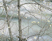 Dogwood tree blooming along the Merced River, Yosemite Valley, Yosemite National Park,  California