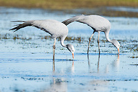 Blue Crane pair feeding in the shallow water of a wetland, Overberg, Western Cape, South Africa