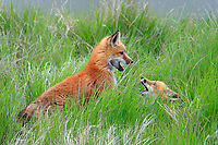 Red fox pups playfighting, Saskatchewan, Canada