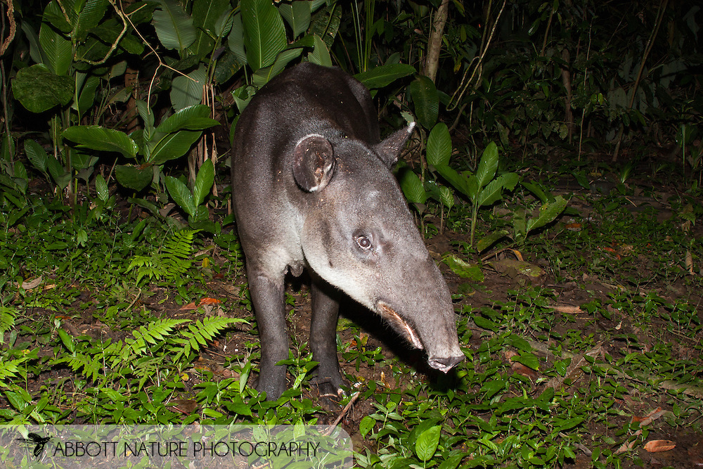 Tapirus bairdii - Mamasota (Central American Tapir, Baird's Tapir): Mammalia: Perissodactyla: Tapiridae<br /> COSTA RICA<br /> Corcovado National Park; Sirena Biological Station<br /> 3-15.Jan.2008<br /> J.C. Abbott #2353