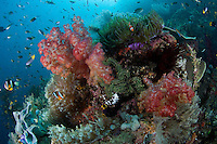 Anemonefishes and Soft Corals