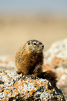 A young Yellow Bellied Marmot sits and soaks in the sun for warmth.