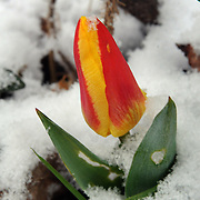 "3/28/12 -- BATH, Maine.  A tulip in Bath tries to shake off a midnight snow on Wednesday morning. It asks,""W.T.F.?""   Photo by Roger S. Duncan."