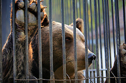 ROMANIA ONESTI 26OCT12 - A Eurasian brown bear pokes his nose through the rusty bars of its cage at the Onesti zoo...The zoo has been shut down due to non-adherence with EU regulations on the welfare of animals.....The bear was rescued from the decrepit Onesti Zoo where it lived for 8 years in degrading conditions.......jre/Photo by Jiri Rezac / WSPA......© Jiri Rezac 2012