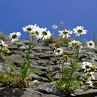 Europe, Ireland, Northern Ireland, Bushmills. Daisies of Dunluce Castle.