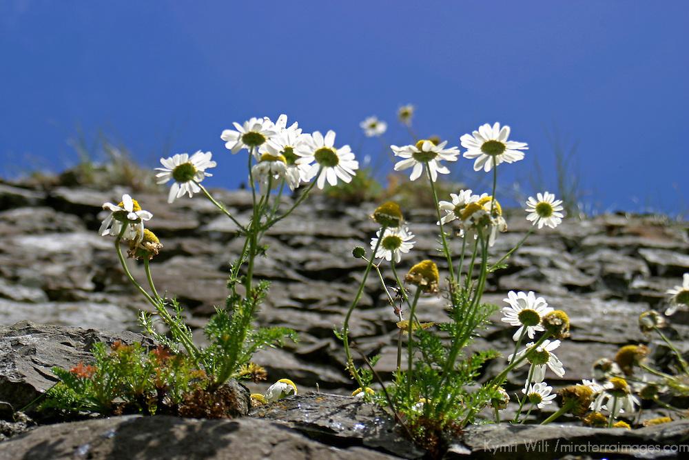 Europe, Ireland, Northern Ireland, Bushmills. Daisies of Dunluce Castle.