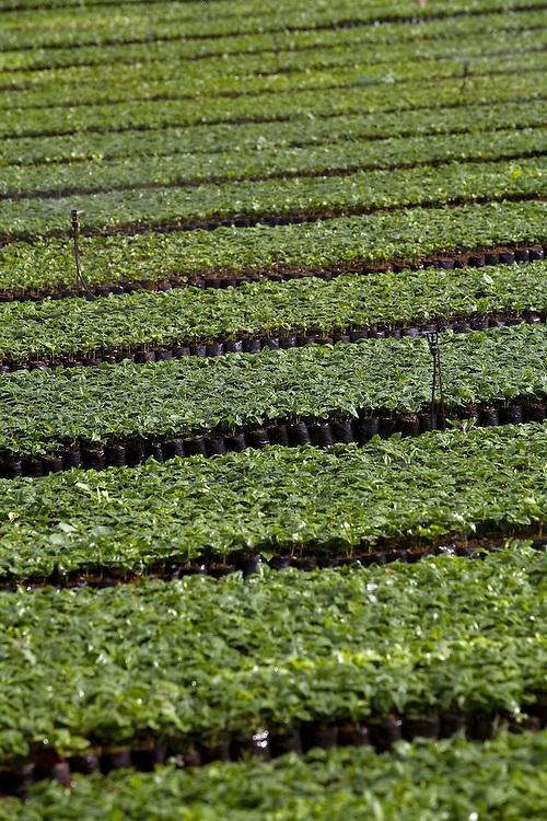 Patrocinio_MG, Brasil...Viveiro de mudas de cafe em patrocinio. ..The nursery seedlings of coffee in Patrocinio...Foto: LEO DRUMOND / NITRO