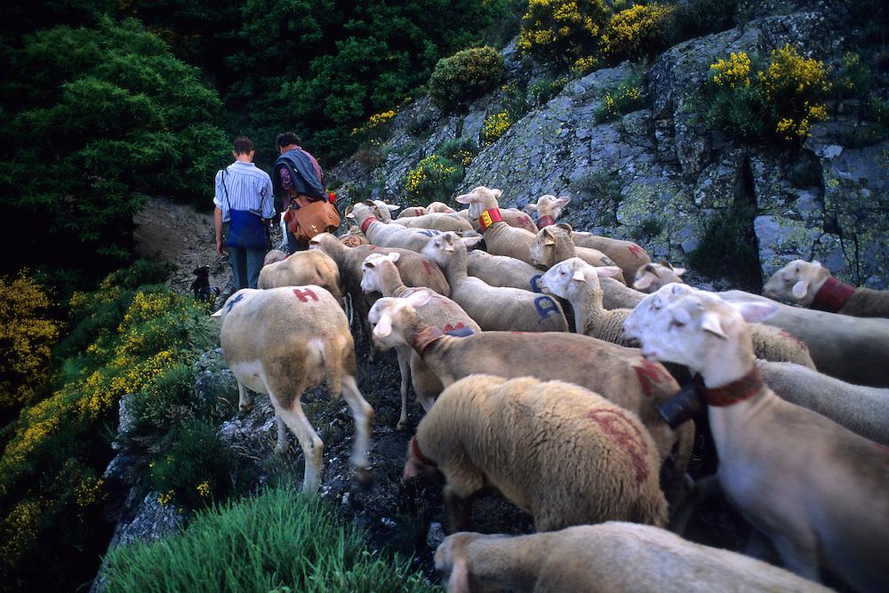France, Languedoc Roussillon, Gard, Cévennes, transhumance des moutons dans le massife de l'Aigoual