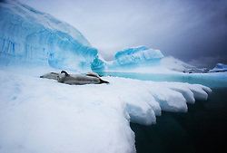 Waving Crabeater Seal (Lobodon carcinophaga) on ice in Antarctica