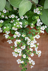 Bacopa Scopia Gulliver White