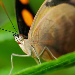 Grecian Shoemaker butterfly in Costa Rica. (Catonephele numilia)