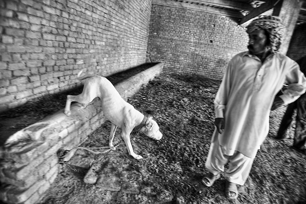 """Tariq, 45 years old, is the responsable man for all the fighting dogs around the area, a sort of  veterinary. The owners of the dogs love the fighting and see how fun. Sometimes the care of their animals is low, especially if he is not a sample of fighter.in the courtyard of his house. Suburbs in Rawalpindi, Pakistan, on thursday, August 28 2008.....According to the Islamic tradition, angels do not enter a house which contains dogs. Even if they are considered """"ritually unclean"""" by the jurists, the fighting dogs of Pakistan are tolerated by institutions and by believers alike. These mastiffs are grown and trained explicitly for these matches. Spectators in this area flock-in from nearby villages whenever a famous dog is scheduled to enter the arena. And this is more than just a show: entire families base their social esteem on the results of such bloody confrontations."""