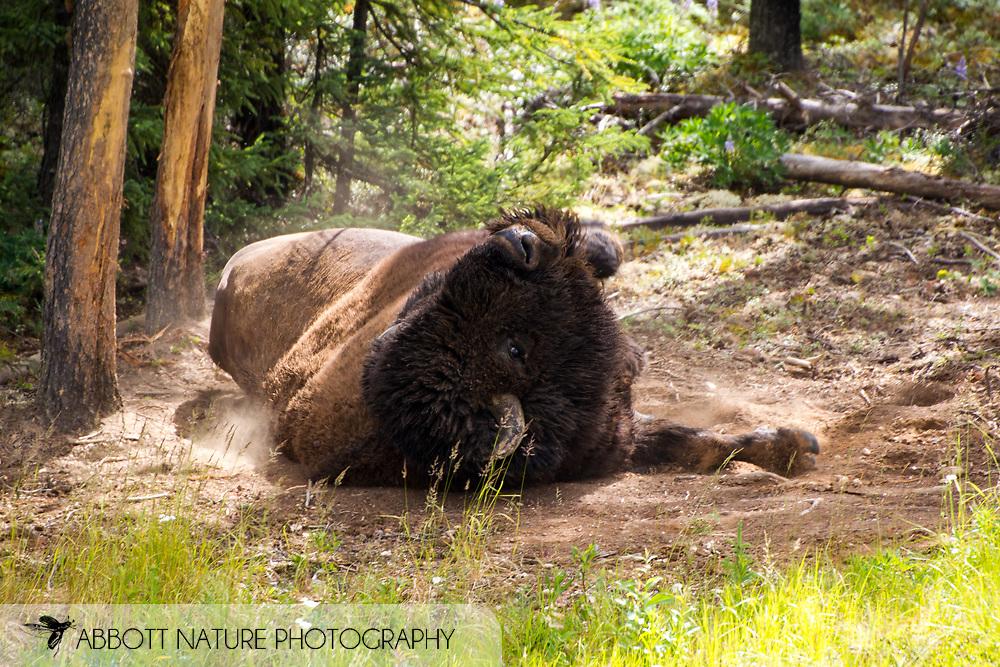 Wood Bison, Mountain Bison, Wood Buffalo or Mountain Buffalo (Bison bison athabascae) rolling at wallow<br /> CANADA: British Columbia (Stikine Region)<br /> along Alaska Highway<br /> 18-July-2012<br /> J.C. Abbott &amp; K.K. Abbott