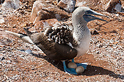 "A Blue-footed Booby (Sula nebouxii) nests with two eggs on North Seymour Island, part of the Galápagos archipelago, a province of Ecuador 972 km offshore west of the continent of South America. The Sulidae family comprises ten species of long-winged seabirds. The name ""booby"" comes from the Spanish term bobo, which means ""stupid"" or ""fool/clown,"" which describes its clumsy nature on land. Like other seabirds, they can be very tame. Blue-footed Boobies breed in tropical and subtropical islands of the Pacific Ocean."