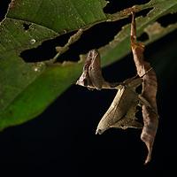 Brown leaf mantis (Metilia coloradensis)