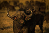 A Water Buffalo stands in the evening sunlight. Chobe National Park, Botswana