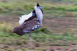 A motion-blur of a Kori bustard (Ardeotis kori) in full mating display, Ndutu, Ngorongoro Conservation Area, Tanzania, Africa