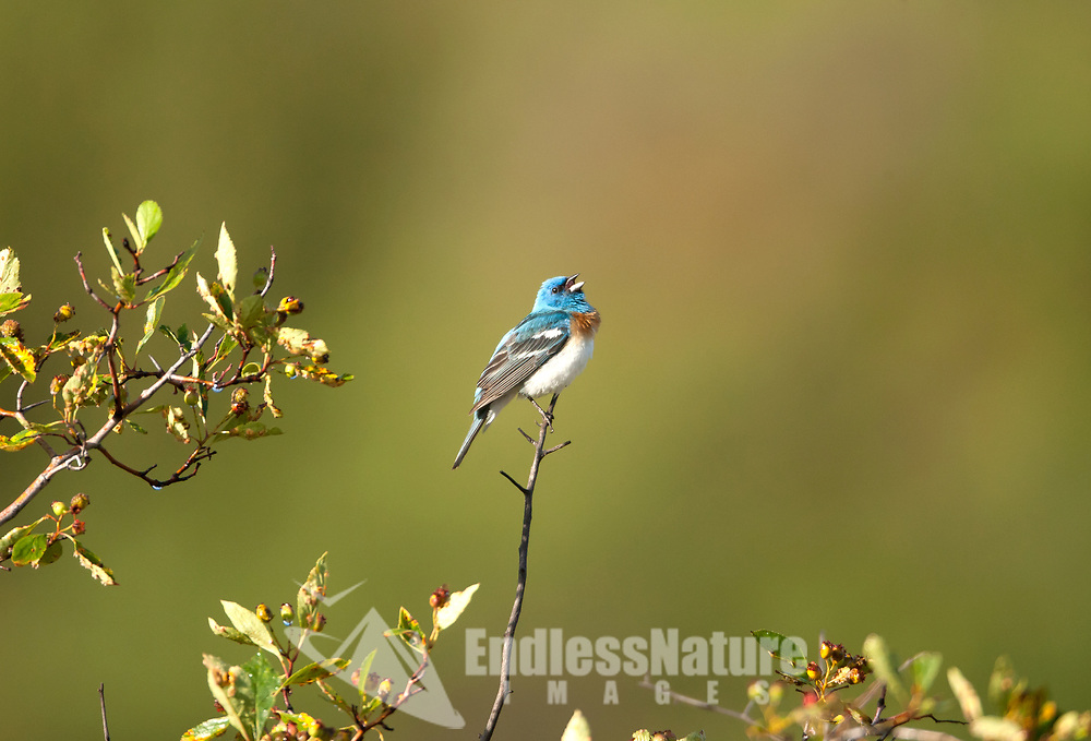 A male Lazuli Bunting sings from the top of a berry bush.