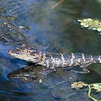 A baby Alligator rests on Mom in Everglades National Park, Florida.