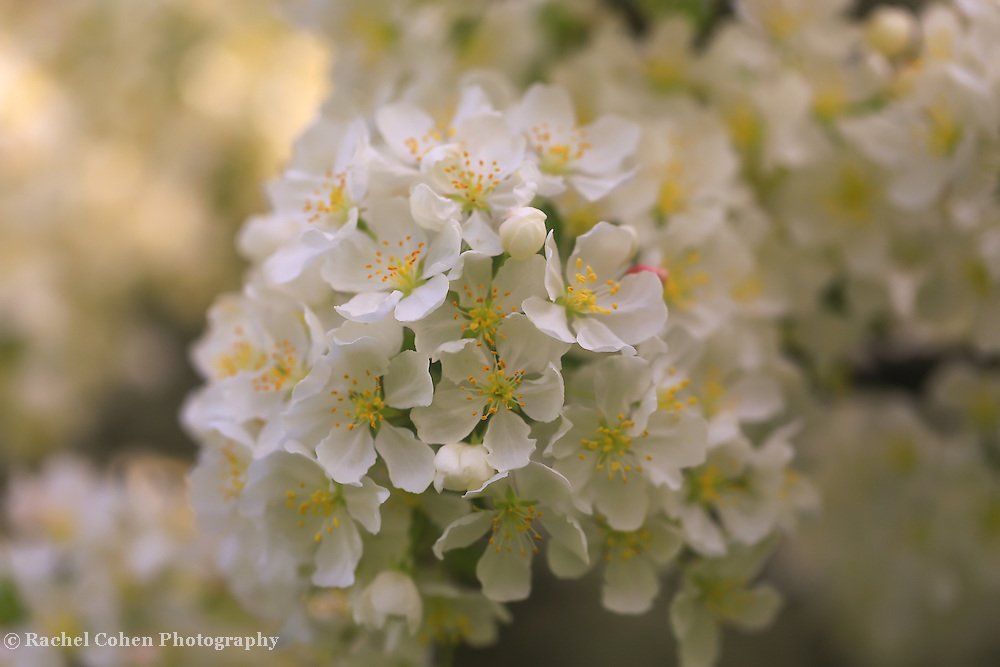 &quot;Ivory Blossoms&quot; <br />