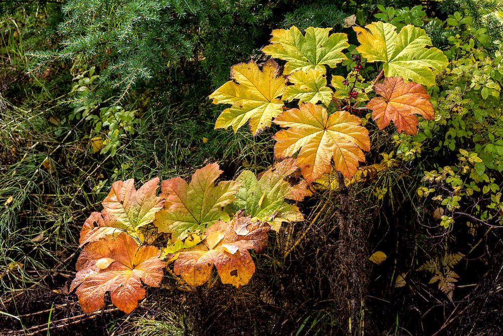 Alaska.  Two Devil's Club shrubs (Oplopanax horridus) with bright yellow and orange leaves along Turnagain Arm in September.