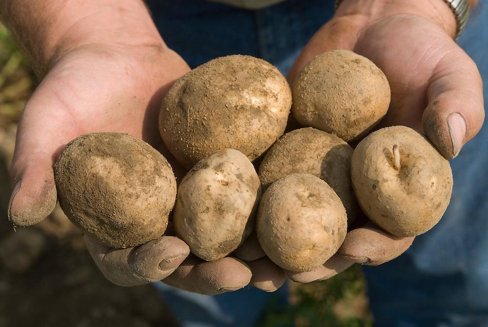 Hands holding potatoes , Patton PA