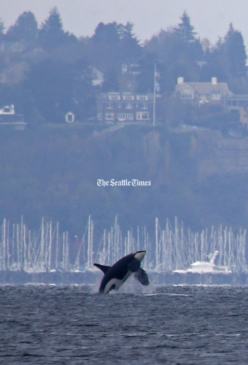 An orca breaches in Elliott Bay with Magnolia in the background, as viewed from Alki Beach in West Seattle. <br />