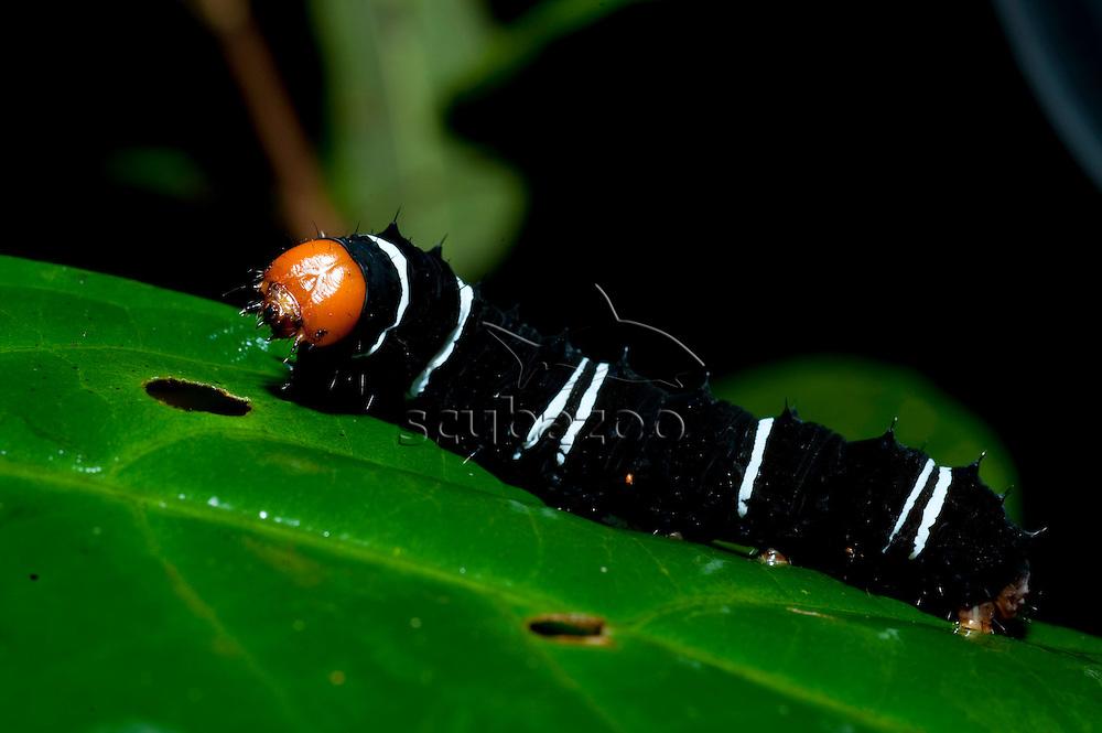 Caterpillar on foliage in forest, Maliau Basin, Sabah, Borneo.