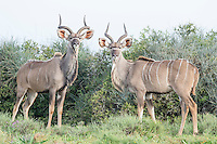 Sparring Kudu bulls, Addo Elephant National Park, Eastern Cape, South Africa