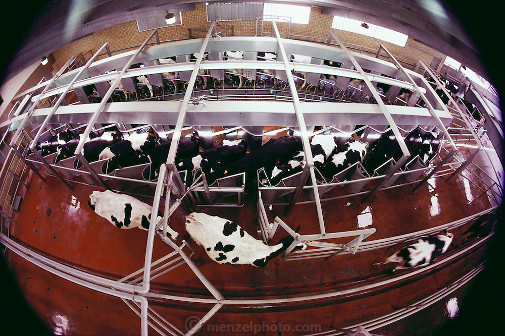 "Maddox Dairy in Riverdale, California. The dairy floor is cleaned by flooding water as each new group of cows comes in to be milked. Maddox Dairy is currently home to 3500 milking cows, calves, heifers and bulls. The dairy is a ""birth to milking operation"", with four, double-12, pregnant herringbone-milking parlors, free stall barns, calf raising barn and calving facilities. The dairy does their own embryo transfer work and markets their genetics worldwide. The Maddox Dairy was honored in 2001 with the Distinguished Dairy Cattle Breeder award for being a ""Visionary Holstein Breeder"", having bred more than 330 Gold Medal Dams, 502 Excellent cows, and their advancements in gene research for the Dairy industry."