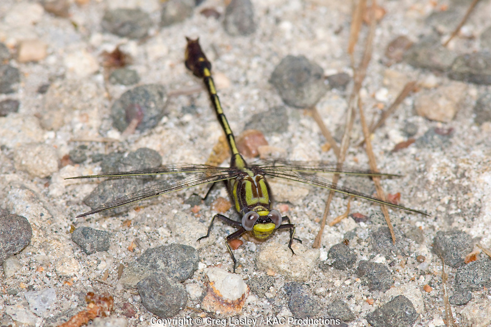 Cocoa Clubtail.Gomphus hybridus.male.Angelina River,.Bevilport,.Jasper Co., Texas.27 March 2008.This area now consists of a few houses and a boat ramp along the Angelina River but in the 1800s a town called Bevilport stood here..