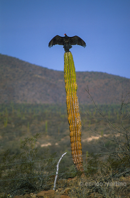 Central Desert. Vulture waiting for the sun warming on the top of a cactus.