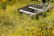 Golden Wave tickseed wildflower blooms around an old rowboat at Folly Beach, SC.
