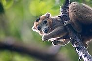 lémur coronado, Eulemur coronatus, Kronenmaki, crowned lemur, Lémur couronné