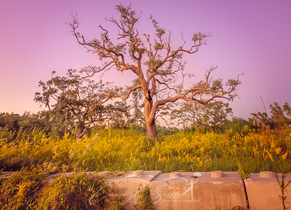 A live oak tree, battered from Hurricane Katrina, stands on a vacant lot amid a field of goldenrod, October 15, 2014, in Coden, Alabama. In the foreground is part of a concrete wall that once surrounded the property. The house, along with most of the houses along Coden Beach, was destroyed during the hurricane, and property owners have been unable — or unwilling — to rebuild. (Photo by Carmen K. Sisson/Cloudybright)