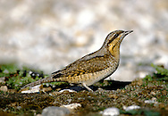 The Wryneck Jynx torquilla (L 16-17cm) is an extraordinary member of the woodpecker family whose intricate plumage markings afford it superb camouflage. It feeds mainly on the ground, and is fond of ants. An adult has delicately marked grey, brown, buff and black upperparts, the pattern of which looks like tree bark. The underparts are pale and barred, flushed yellow-buff on the throat and flanks. Note the dark stripes through the eye and down the crown, nape and centre of the back. Juvenile birds have an indistinct crown stripe. Sadly, the days when the Wryneck was a widespread breeding bird in the region are long gone. A handful of pairs nests in the Scottish Highlands but now it is best known as a scarce passage migrant, found mainly in autumn on S and E coasts of England.