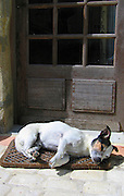 Pedigree Jack Russell terrier with a relaxed attitude to guarding the homestead bides his time, Normandy, France