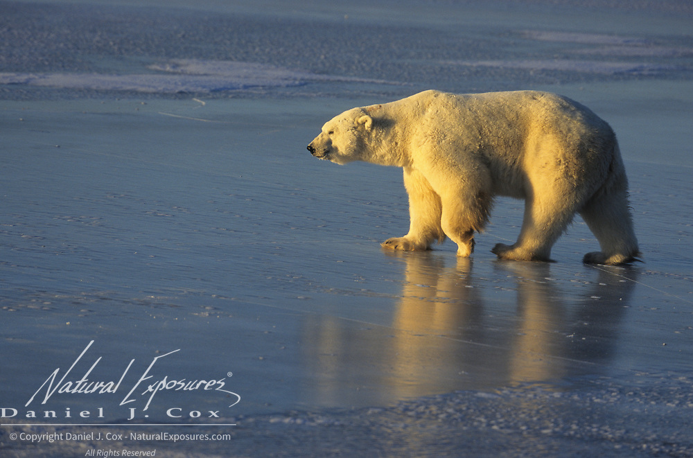 Polar Bear on the frozen ice of Hudson Bay. Canada