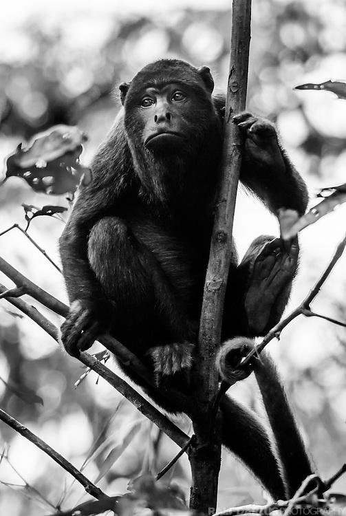 Portrait of a Red Howler Monkey (Alouatta seniculus, Atelidae) that was part of a group living at the Tambopata, Peru - Portrait eines Roten Brüllaffen der Teil einer Gruppe am Tambopata Fluss in Peru war