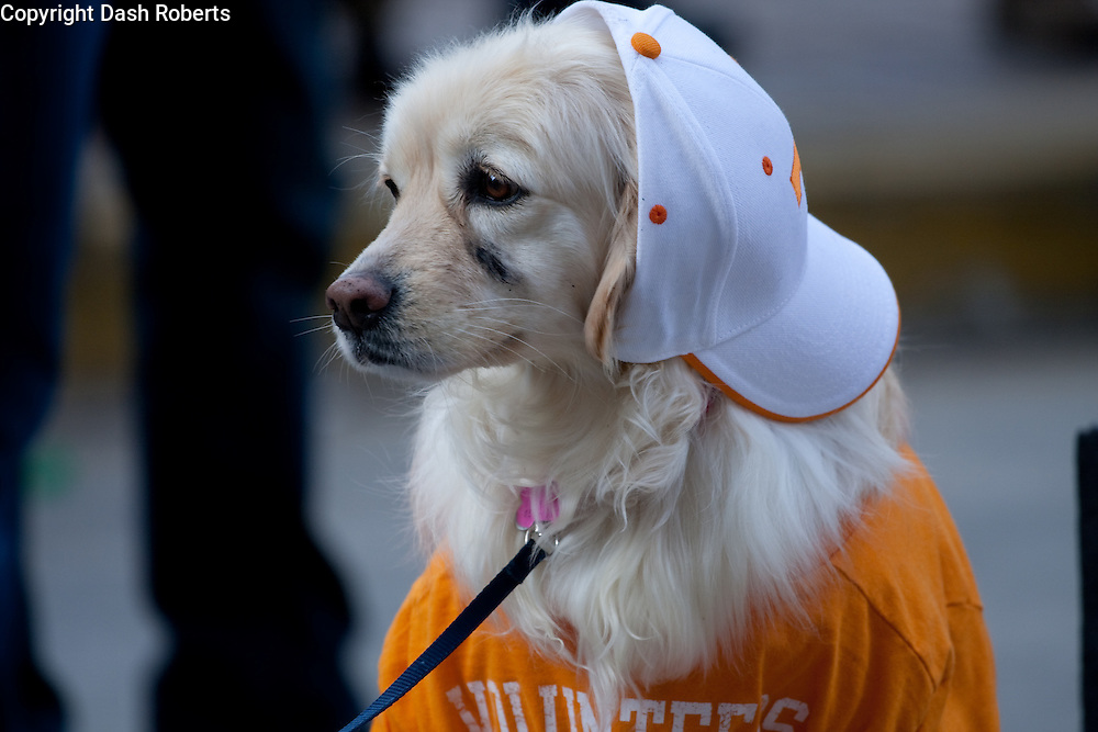 Dog dressed as a Vol for the third annual   Mardi Growl Parade in downtown Knoxville, Tennessee on Feb. 13, 2010.