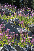Firewood, Chamaenerion angustifolium, growing on a talus slope in Oregon's Wallowa Mountains.