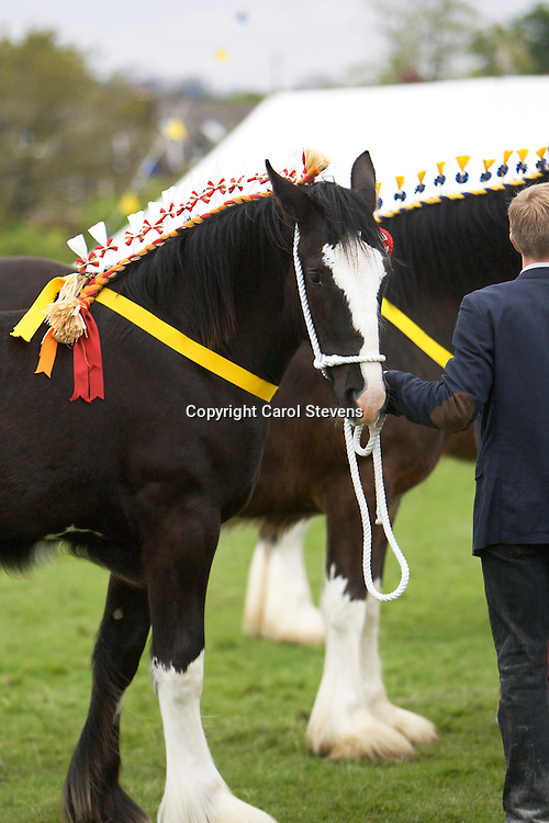 Robert Bedford of  Hartcliff Shires with Hartcliff Beyonce     <br /> Best Yearling
