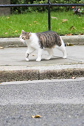 Downing Street, London, October 18th 2016. Larry the Downing Street Cat patrols his territory as ministers arrive at the weekly cabinet meeting at 10 Downing Street in London.
