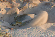 Australian flatback sea turtle, Natator depressus, female covering nest after laying, Crab Island, off Cape York Peninsula, Torres Strait, Queensland, Australia