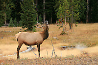 Young bull elk smelling the air around him in Yellowstone National Park, Wyoming