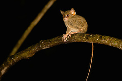A wide-eyed Dian's tarsier (Tarsius dianae) sitting on a tree,Sulawesi, Indonesia