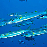 Bigeye Barracuda school in open water. Picture taken Mary Island, Soloman Islands.