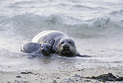 Pacific Harbor Seal<br /> Phoca vitulina<br /> Mother and young pup on shore<br /> Fanshell Beach, CA