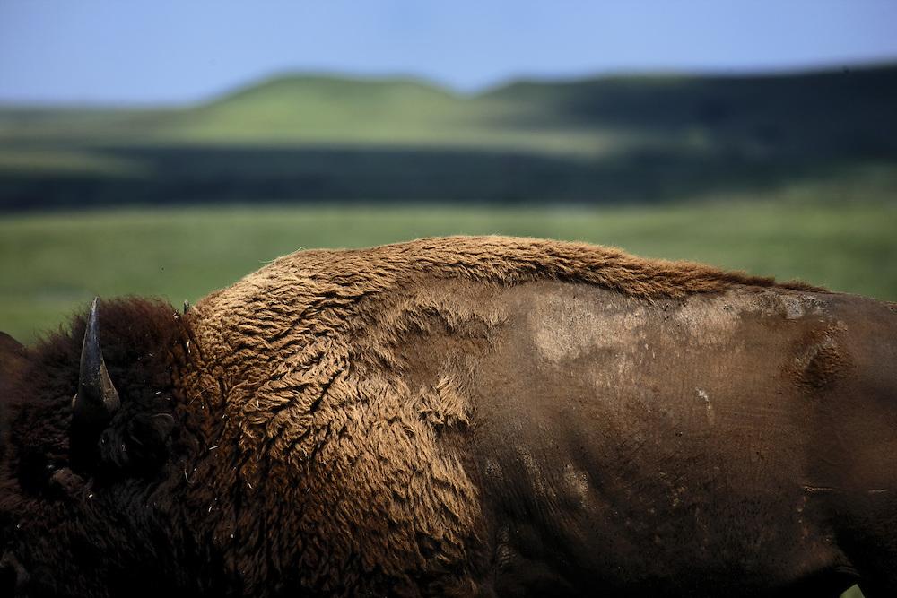 Bison grazing in the Flint Hills at the Konza Prairie near Manhattan, Kansas.